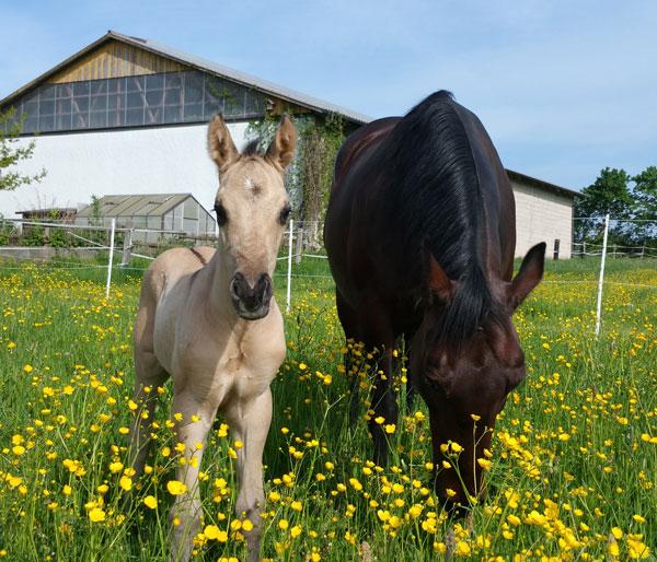 Fohlen und Stute auf der Weide