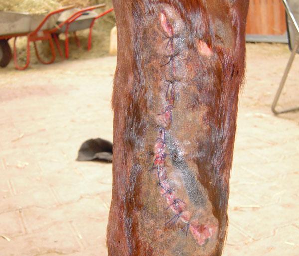 Genähte Wunde am Bein des Pferdes